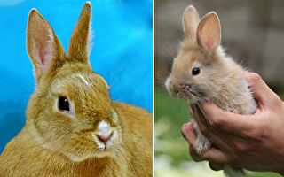 巴掌大萌兔养到变身巨兔 主人:它教孩子温柔和爱