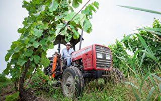 疫期农场缺劳力 安省农作物收成堪忧
