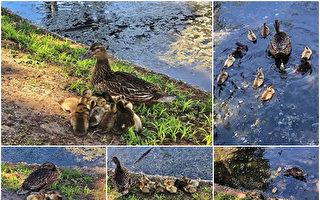 组图:母鸭带着小鸭 暖心母子情展露无遗