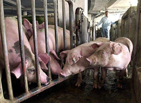 有科学家表示,在中国发现一种由猪只带原的新品种流感病毒,目前已有猪传人的案例。图为猪只示意图。