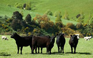 受非洲豬瘟影響 預計中國將增加紐紅肉進口