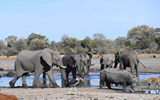 波札那上百头大象成群死亡 原因不明
