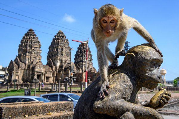 泰國古城遭猴子占領 人們欲搶回失地