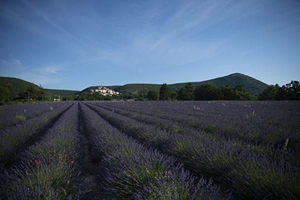 组图:法国南部薰衣草盛开 又到蜂农采蜜忙