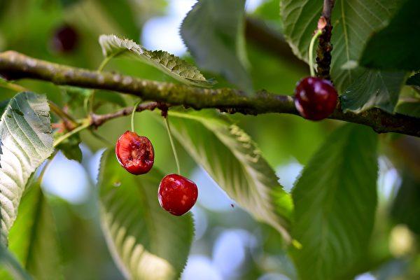【一线采访】异常天气 大连樱桃收成锐减