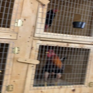 警方本來只是進行毒品調查,但卻在地下室發現了數十只用於斗雞的公雞。