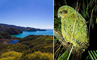 鲁莽鸮鹦鹉做了一件事 成功挽救族群免于灭绝