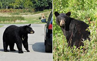 野生熊打开汽车门 车主高处急吼把它吓跑