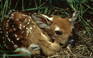 美國小鹿溺水 被善心男子以CPR救活