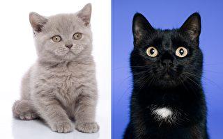 臉部半灰半黑的小貓 生出灰色和黑色小貓