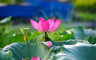 荷花 蓮花 花卉 植物