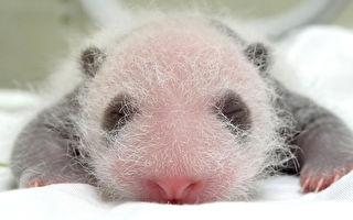 圓仔妹長出「黑眼圈」 逐漸有大貓熊樣