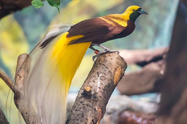 組圖:五種擁有驚豔長尾的最美麗鳥
