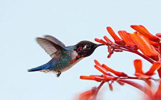 世界上最小的鳥 如寶石般的吸蜜蜂鳥
