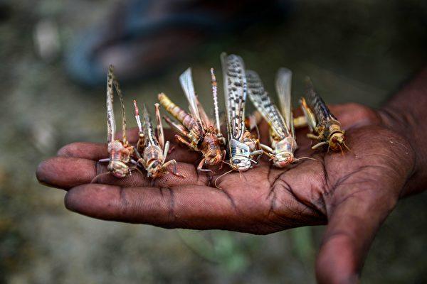蝗虫大军逼近首都 印度直升机和无人机迎战