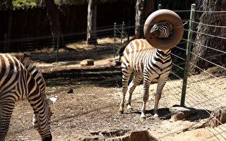 阿拉米達縣重新開放戶外用餐 奧克蘭動物園即將開放
