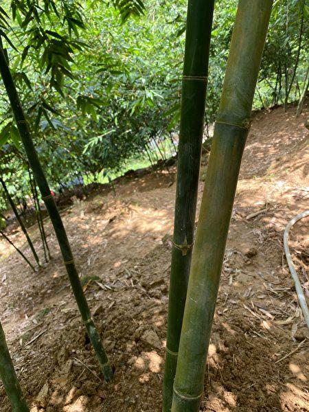 偏绿竹子为一年生成竹,黄的为二年生成竹,也有三年的。