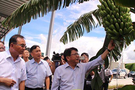 屏东县长潘孟安带领蕉农藉由导入AI智慧科技,让农民转型生产标准化,亲自前往果园了解香蕉成长过程。