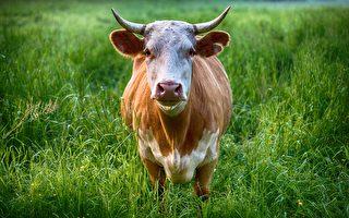 印度公牛追1公里 阻貨車載走母牛 結局很妙