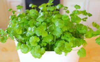 【美食天堂】室內快速種植香菜的方法~什麼季節都可以種!