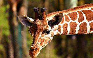 身高5.7公尺 世界最高長頸鹿在澳洲動物園