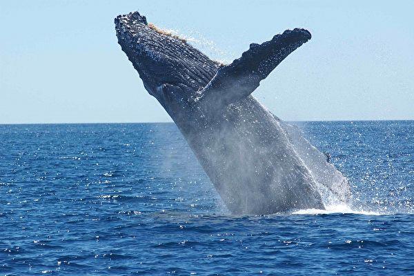 三头虎鲸围捕座头鲸近两小时 场面惊心动魄