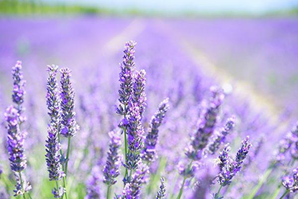 """韩国新景点""""紫岛"""" 四处都是梦幻般的紫色"""