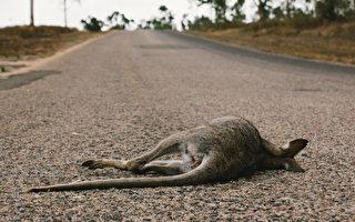 眼見妻兒被車撞死 澳洲袋鼠路邊撫屍哀悼