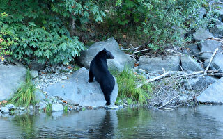 頭卡塑膠桶在湖裡掙扎 美國小黑熊獲救