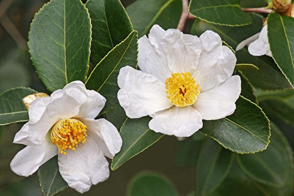 苦茶油,多为油茶树的种子所榨出来的油,分为小果种与大果种。小果种油茶树是金黄色花蕊的白花。(Shutterstock)