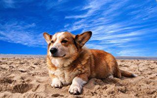俄罗斯短腿狗罕见当警犬 证明身高不是问题