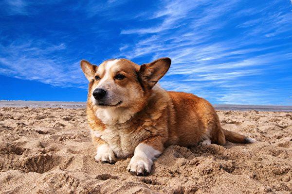 俄羅斯短腿狗罕見當警犬 證明身高不是問題