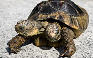 破世界纪录 瑞士罕见双头龟马上23岁啦