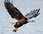 數量超過31萬 美國國鳥白頭鷹復育成功