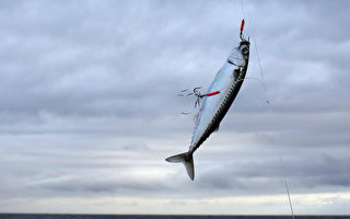報復?36斤鯖魚躍出水面 撞死澳洲釣魚男