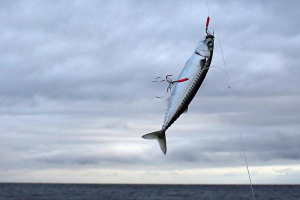报复?36斤鲭鱼跃出水面 撞死澳洲钓鱼男