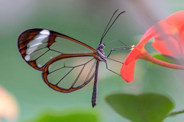 最美麗昆蟲 擁有透明翅膀的玻璃翼蝴蝶