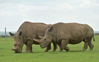 世上僅存兩頭雌性北方白犀牛 再次取卵成功