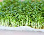 【美食天堂】在家水培微型芥菜苗 7天就能采收