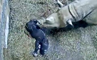 美国动物园传喜讯 珍稀濒危黑犀牛诞下宝宝