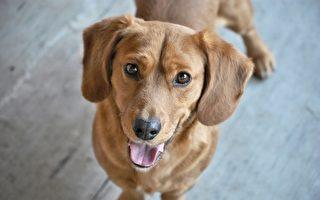 祕魯流浪狗在街上討食 意外獲得警察局肥缺