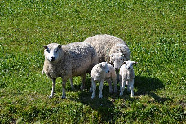 史上最貴 蘇格蘭一綿羊以「天價」拍賣成交