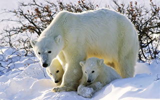 北極熊母子現身俄羅斯最北端城市 或為覓食