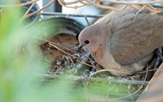 小鳥在賓士車築巢 阿聯酋王子護鳥封鎖車位