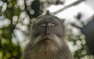 猴子在樹下打坐 網民:想變成孫悟空