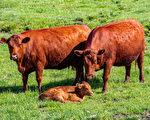 以色列培育红母牛 为《圣经》末日预言准备