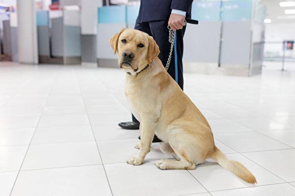 为什么美国机场偏好耳朵下垂的工作犬?