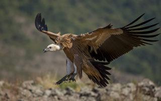 兀鹫妈妈惨死 以色列军方无人机送食养雏鸟