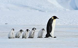企鵝受困南極冰谷 BBC工作人員破例搭救