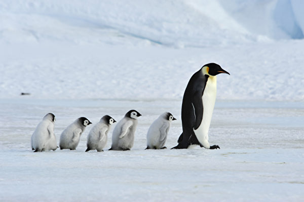 企鹅受困南极冰谷 BBC工作人员破例搭救
